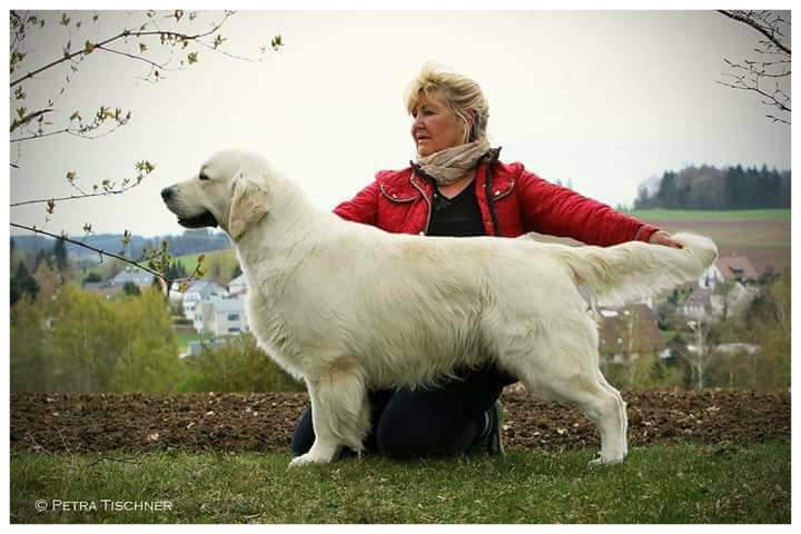 Golden Retriever Hundezucht Of Saxonia Castle Drc Vdh Golden